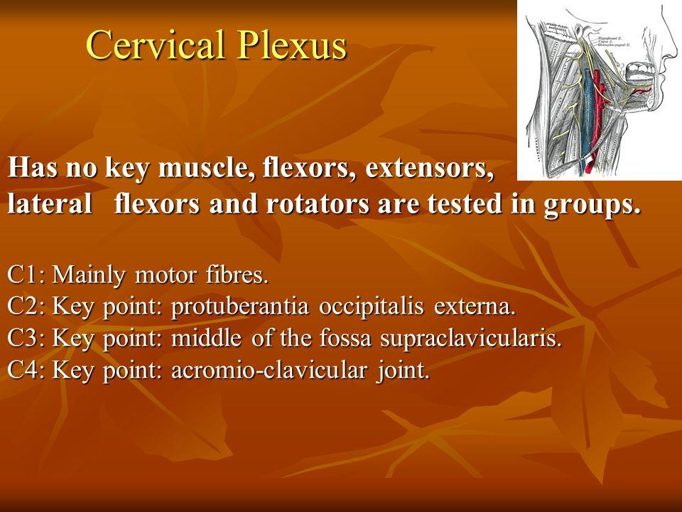 Brachial Plexus C5: KM: biceps, brachialis, KP: lateral of the antecubital fossa, DTR: biceps.