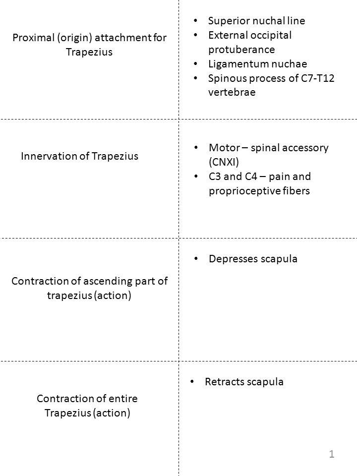 Proximal (origin) attachment for Trapezius Innervation of Trapezius Contraction of ascending part of trapezius (action) Contraction of entire Trapeziu
