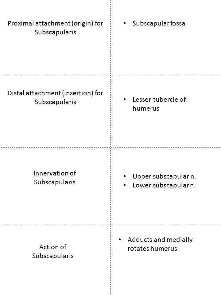 Proximal attachment (origin) for Subscapularis Innervation of Subscapularis Subscapular fossa Upper subscapular n. Lower subscapular n. Adducts and me