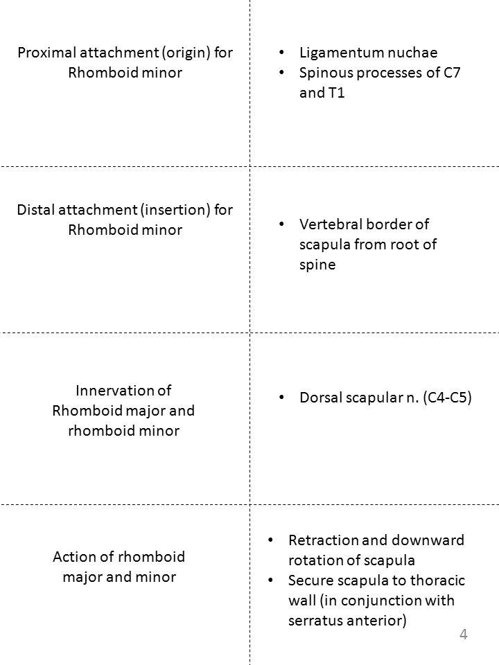 Proximal attachment (origin) for Rhomboid minor Innervation of Rhomboid major and rhomboid minor Action of rhomboid major and minor Ligamentum nuchae
