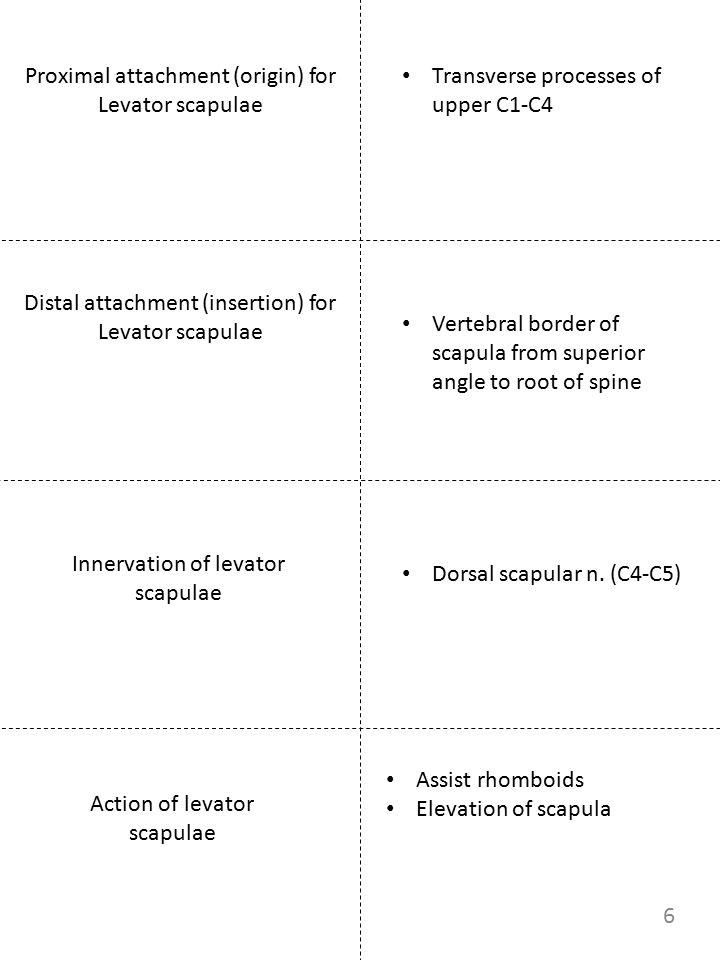 Proximal attachment (origin) for Levator scapulae Innervation of levator scapulae Action of levator scapulae Transverse processes of upper C1-C4 Dorsa