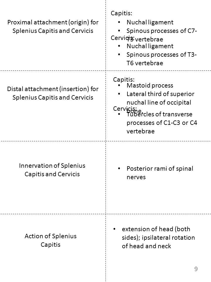 Proximal attachment (origin) for Splenius Capitis and Cervicis Innervation of Splenius Capitis and Cervicis Action of Splenius Capitis Nuchal ligament