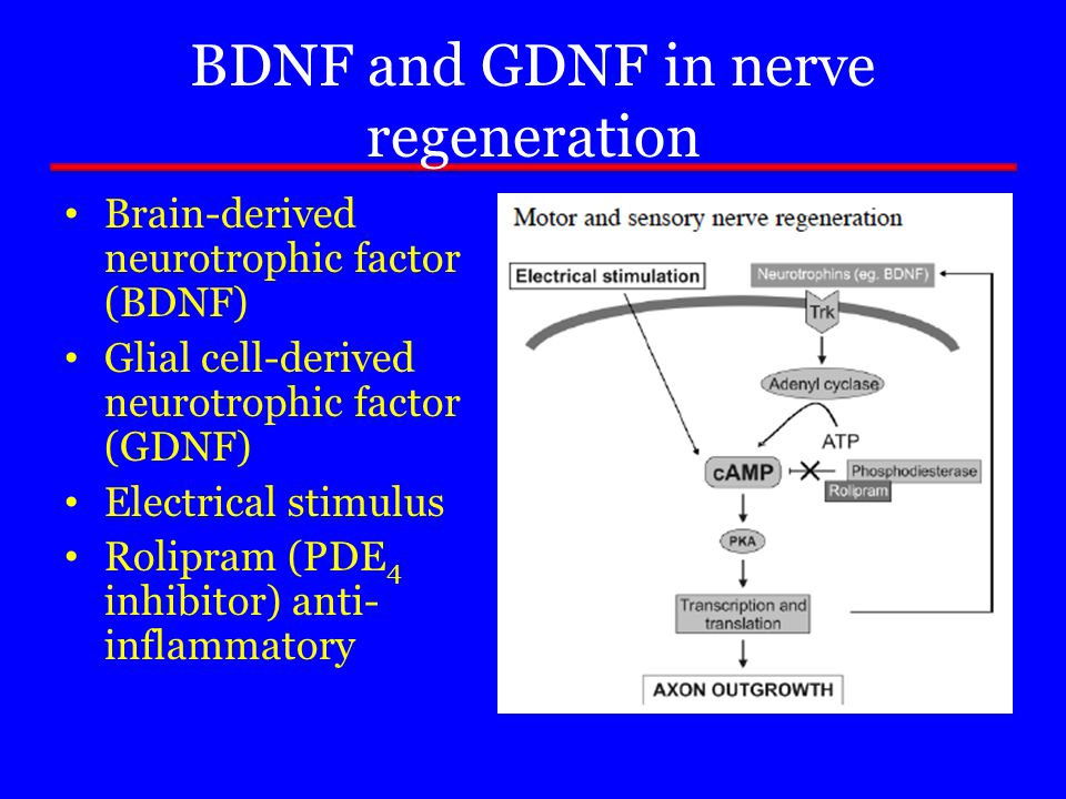BDNF and GDNF in nerve regeneration Brain-derived neurotrophic factor (BDNF) Glial cell-derived neurotrophic factor (GDNF) Electrical stimulus Rolipra