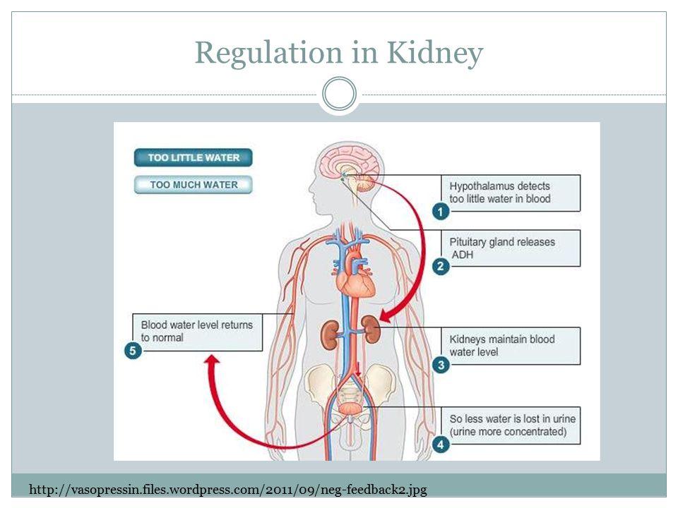 Regulation in Kidney http://vasopressin.files.wordpress.com/2011/09/neg-feedback2.jpg