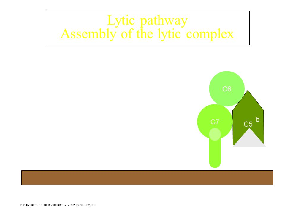 Mosby items and derived items © 2006 by Mosby, Inc. Components of the lytic pathway C6 C9C9 C8 C7 C5