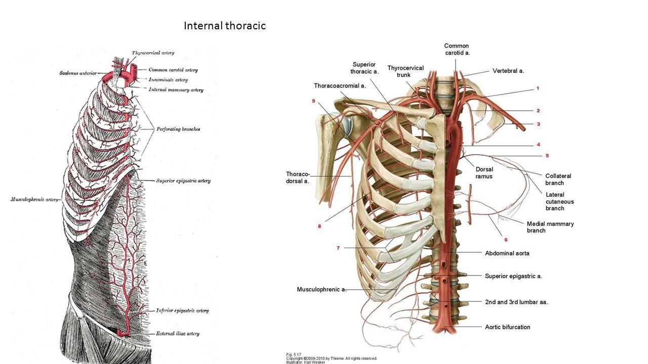 Internal thoracic