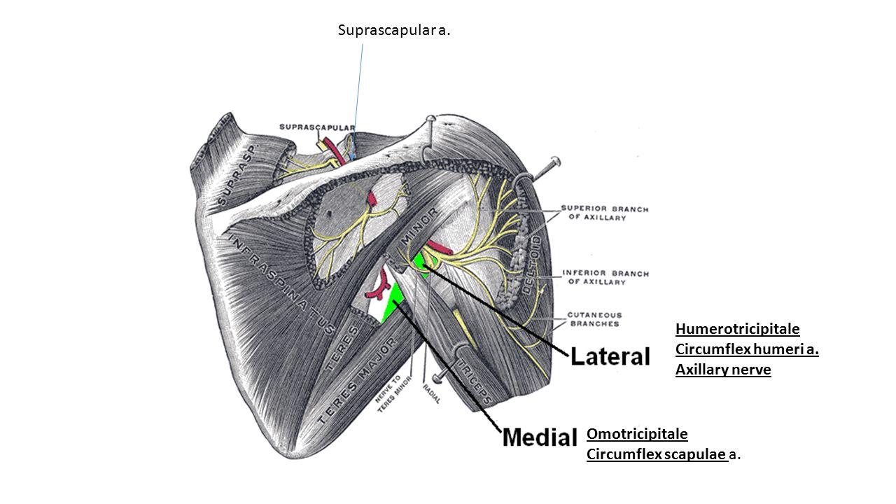 Humerotricipitale Circumflex humeri a. Axillary nerve Omotricipitale Circumflex scapulae a. Suprascapular a.