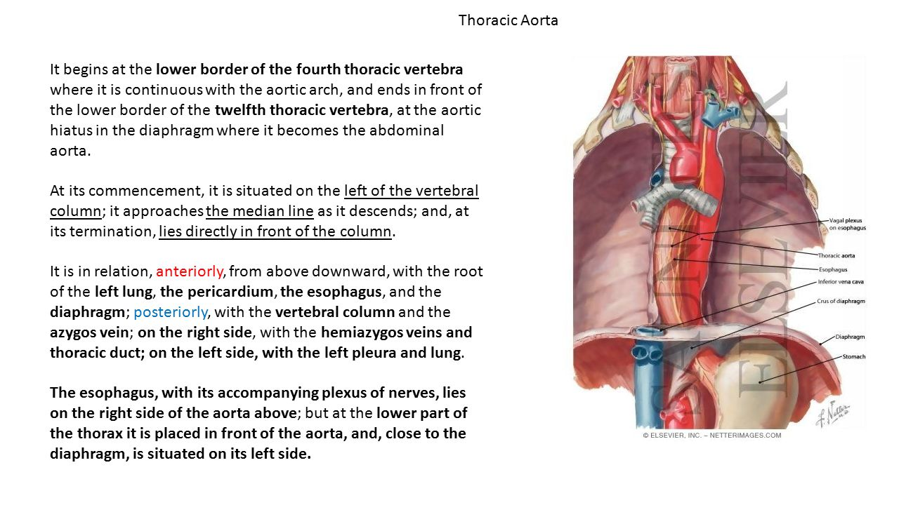 Thoracic Aorta It begins at the lower border of the fourth thoracic vertebra where it is continuous with the aortic arch, and ends in front of the low