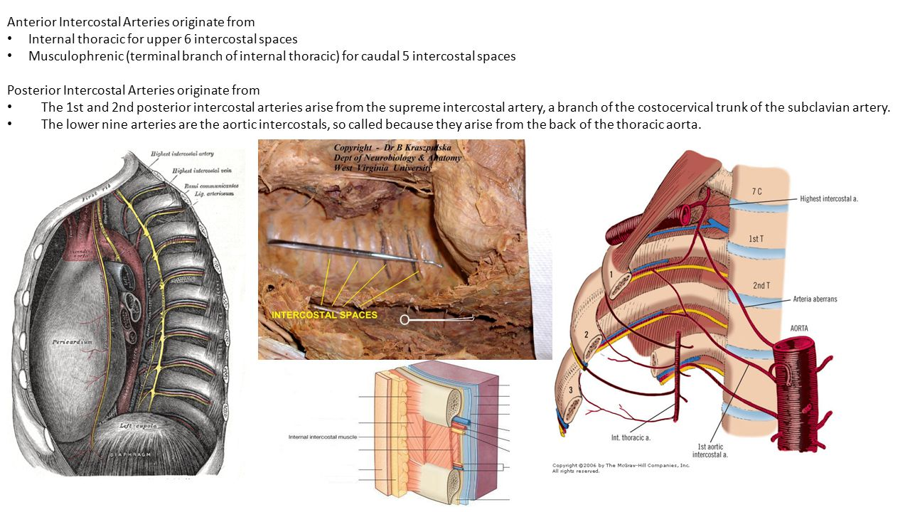 Anterior Intercostal Arteries originate from Internal thoracic for upper 6 intercostal spaces Musculophrenic (terminal branch of internal thoracic) fo