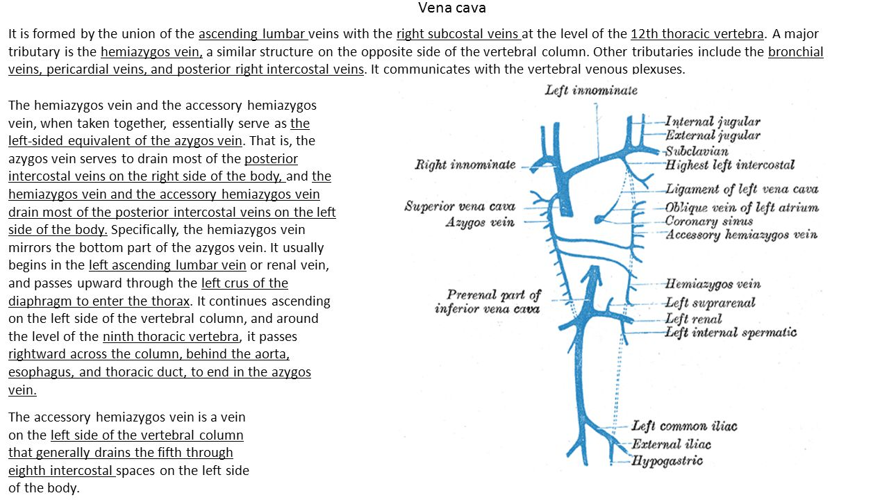 Vena cava It is formed by the union of the ascending lumbar veins with the right subcostal veins at the level of the 12th thoracic vertebra. A major t