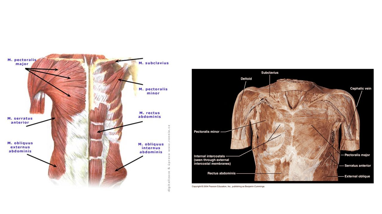 The mediastinum lies between the right and left pleura in and near the median sagittal plane of the chest.