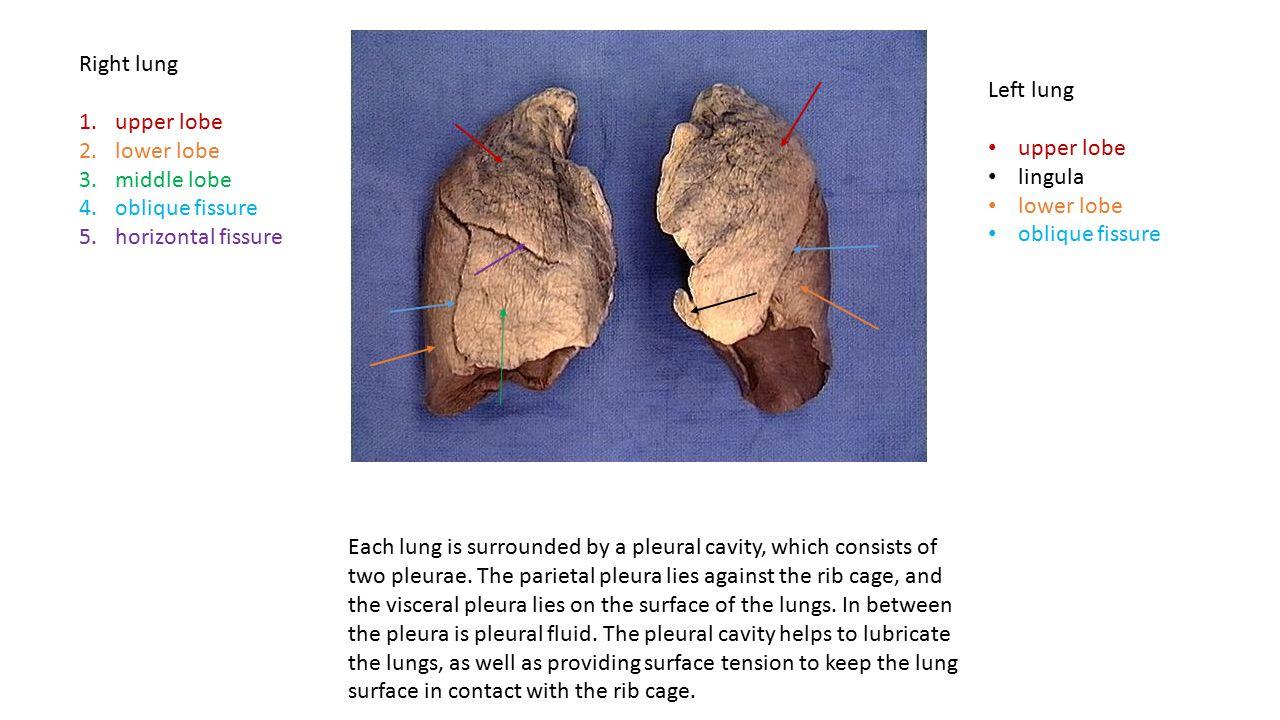 Left lung upper lobe lingula lower lobe oblique fissure Right lung 1.upper lobe 2.lower lobe 3.middle lobe 4.oblique fissure 5.horizontal fissure Each