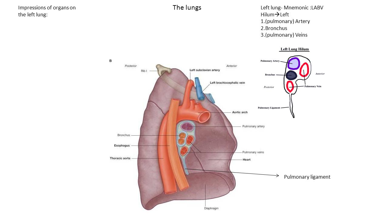 The lungs Left lung- Mnemonic :LABV Hilum  Left 1.(pulmonary) Artery 2.Bronchus 3.(pulmonary) Veins Pulmonary ligament Impressions of organs on the l