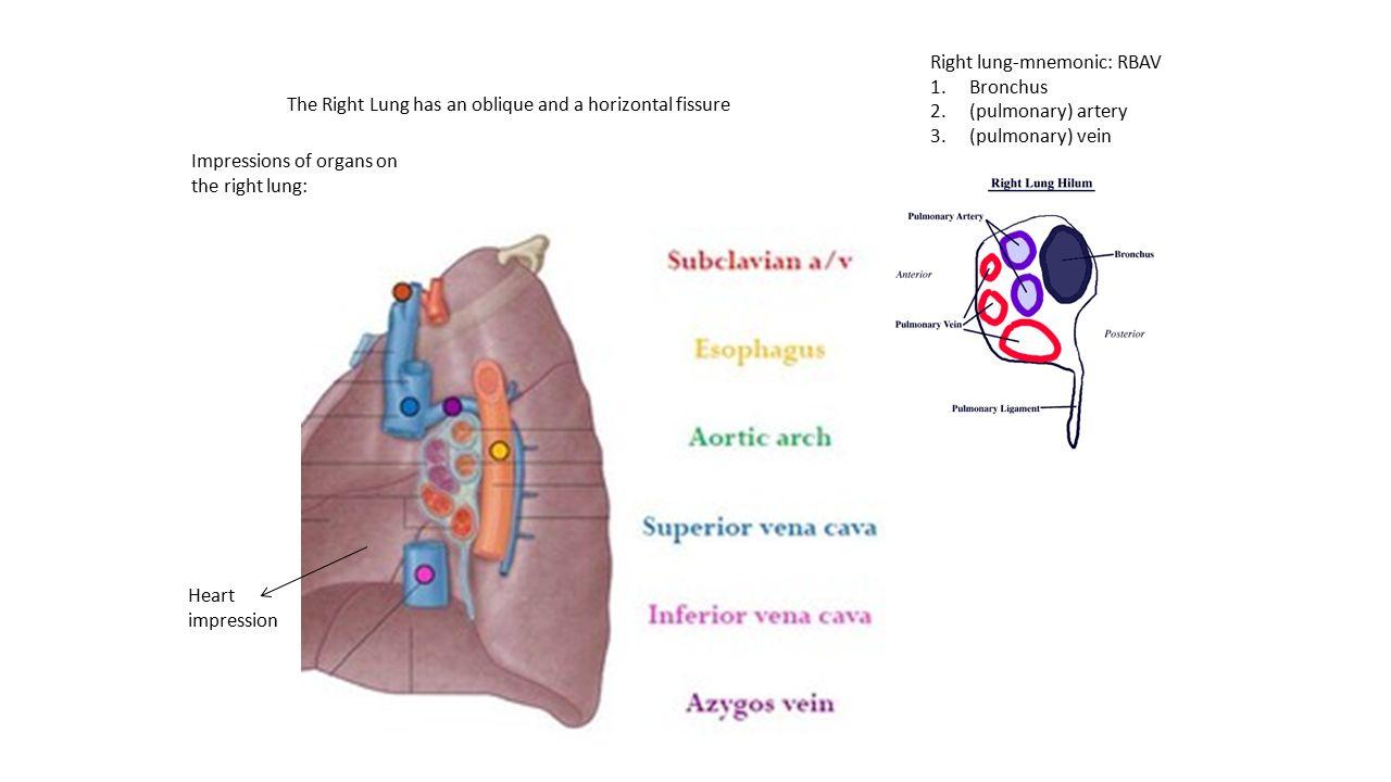 Right lung-mnemonic: RBAV 1.Bronchus 2.(pulmonary) artery 3.(pulmonary) vein Heart impression Impressions of organs on the right lung: The Right Lung