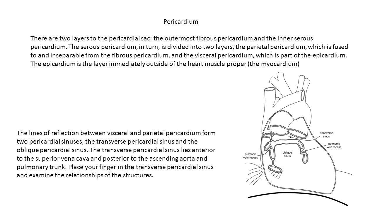 There are two layers to the pericardial sac: the outermost fibrous pericardium and the inner serous pericardium. The serous pericardium, in turn, is d