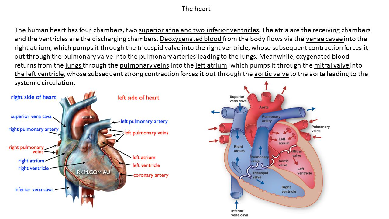 The human heart has four chambers, two superior atria and two inferior ventricles. The atria are the receiving chambers and the ventricles are the dis