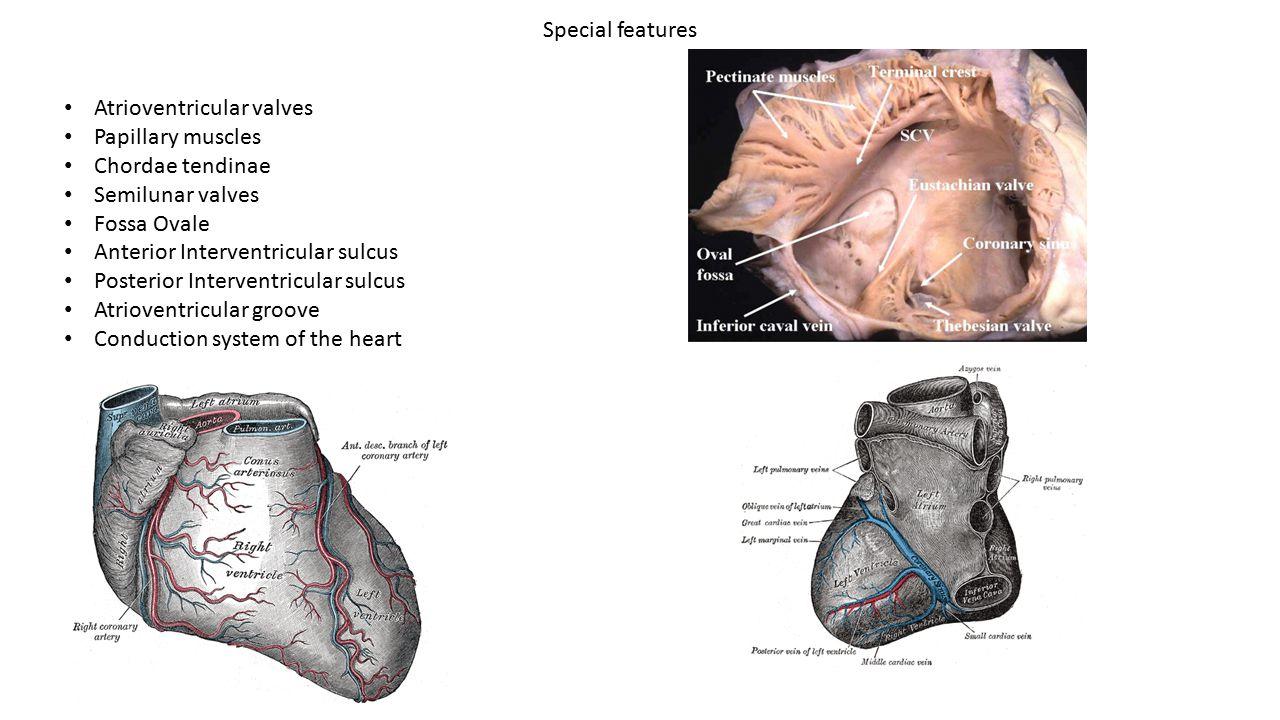 Special features Atrioventricular valves Papillary muscles Chordae tendinae Semilunar valves Fossa Ovale Anterior Interventricular sulcus Posterior In