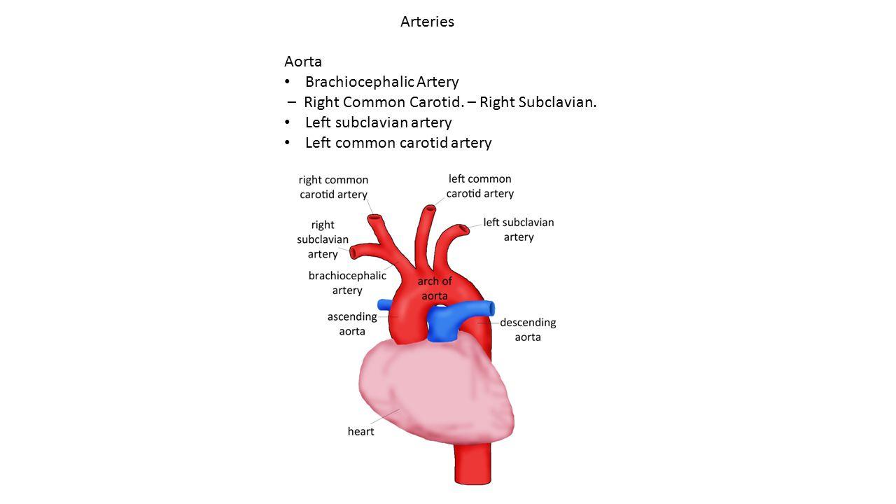 Arteries Aorta Brachiocephalic Artery – Right Common Carotid. – Right Subclavian. Left subclavian artery Left common carotid artery