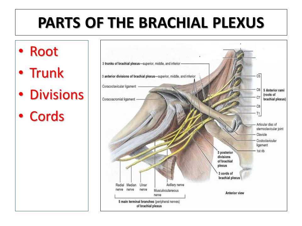 PARTS OF THE BRACHIAL PLEXUS Root Root Trunk Trunk Divisions Divisions Cords Cords