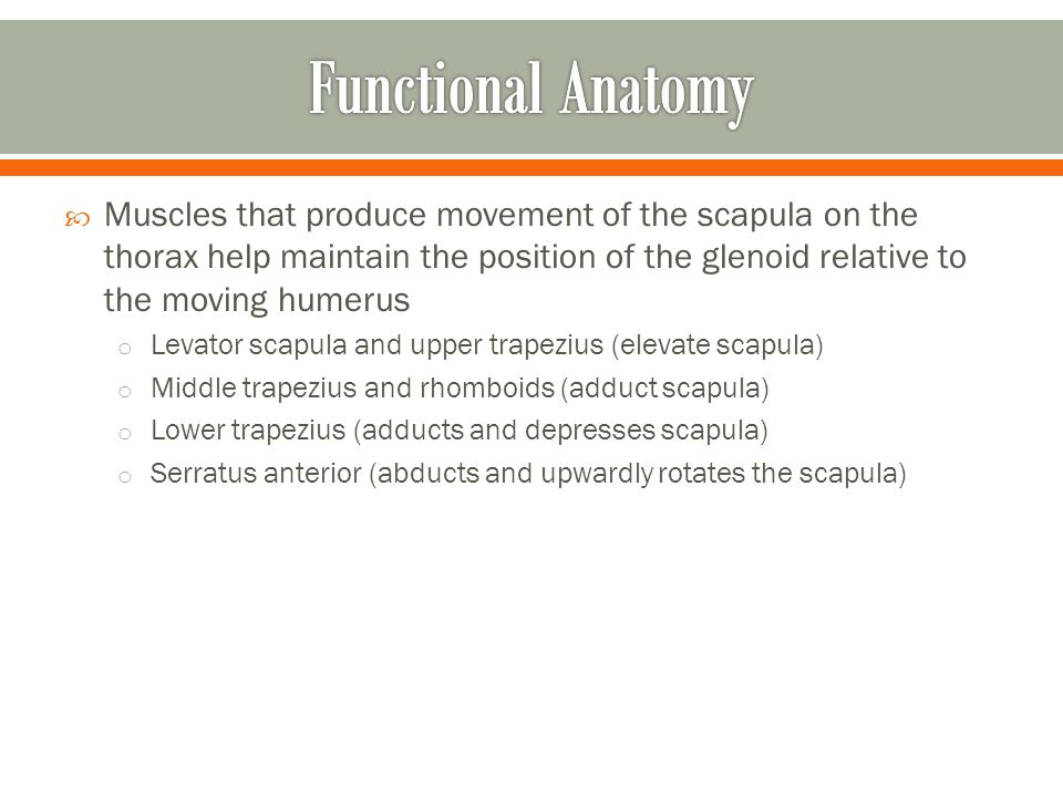  Muscles that produce movement of the scapula on the thorax help maintain the position of the glenoid relative to the moving humerus o Levator scapul
