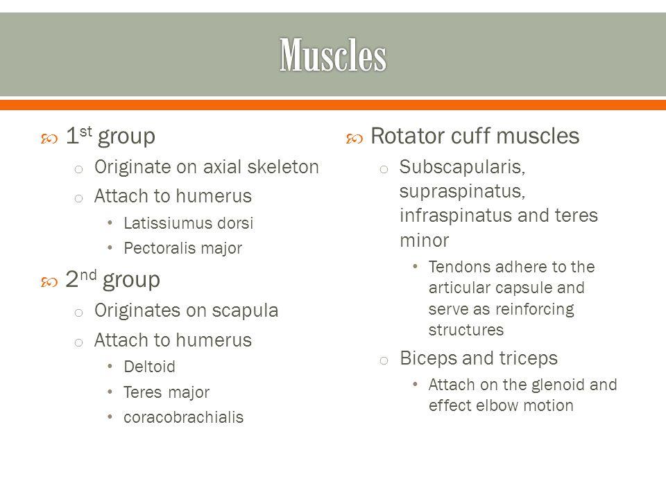  1 st group o Originate on axial skeleton o Attach to humerus Latissiumus dorsi Pectoralis major  2 nd group o Originates on scapula o Attach to hum
