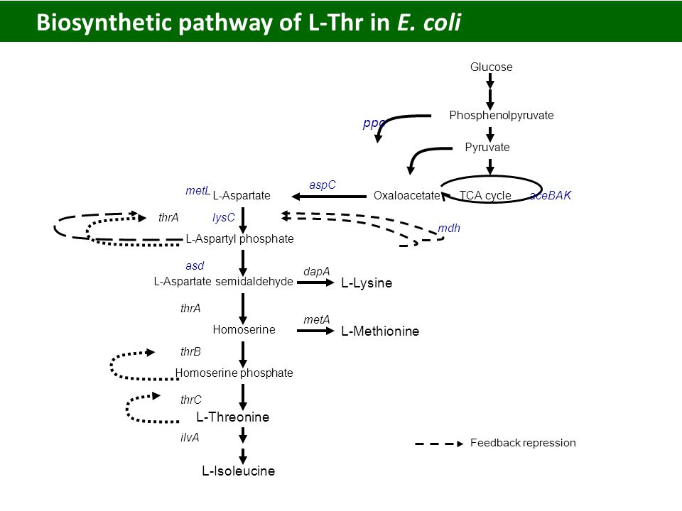 Biosynthetic pathway of L-Thr in E.