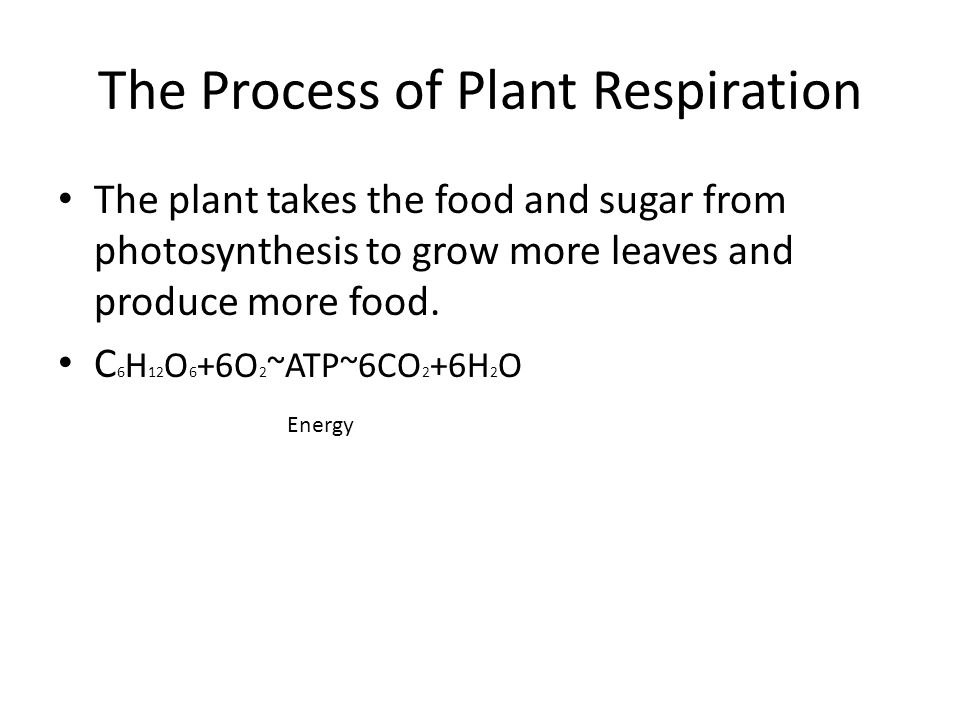 The Process of Plant Respiration The plant takes the food and sugar from photosynthesis to grow more leaves and produce more food. C 6 H 12 O 6 +6O 2