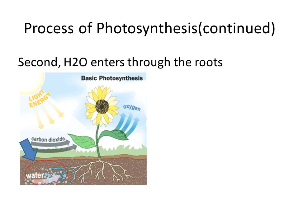 Process of Photosynthesis(continued) Second, H2O enters through the roots
