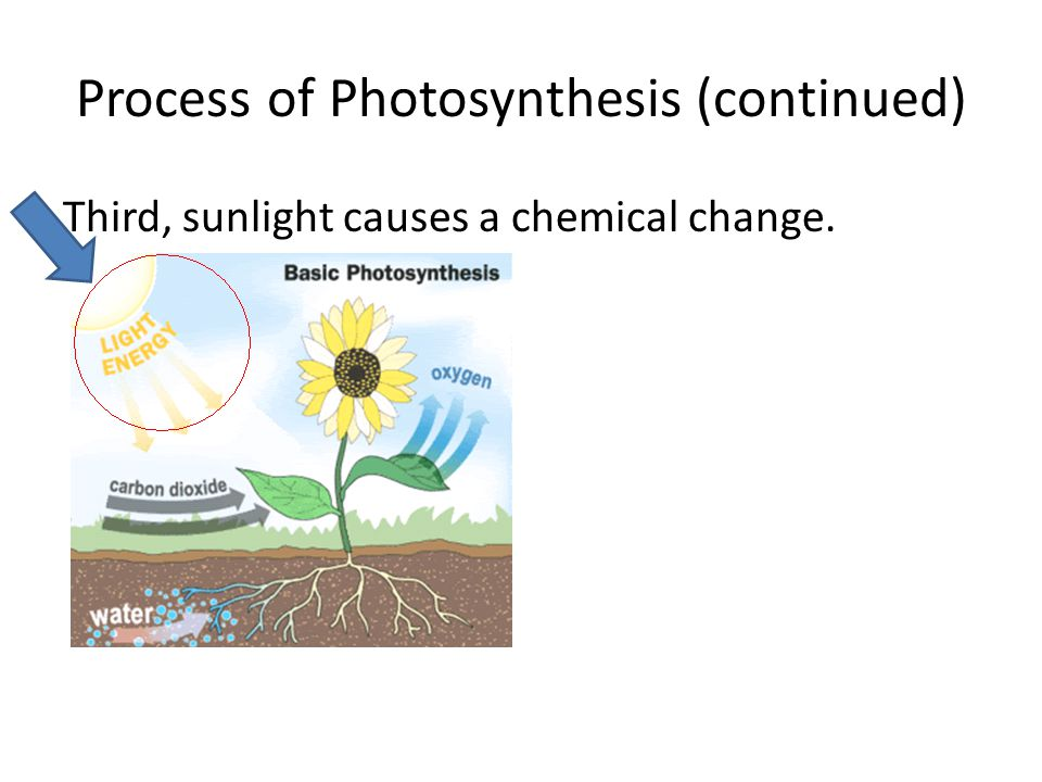 Process of Photosynthesis (continued) Third, sunlight causes a chemical change.