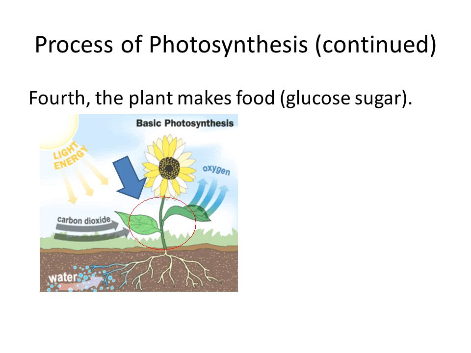 Process of Photosynthesis (continued) Fourth, the plant makes food (glucose sugar).