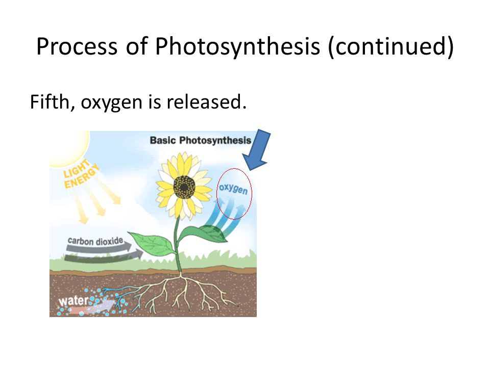 Process of Photosynthesis (continued) Fifth, oxygen is released.