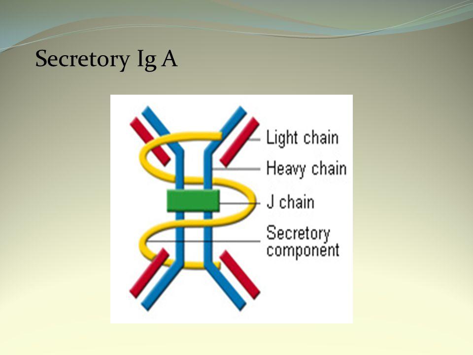 Secretory Ig A