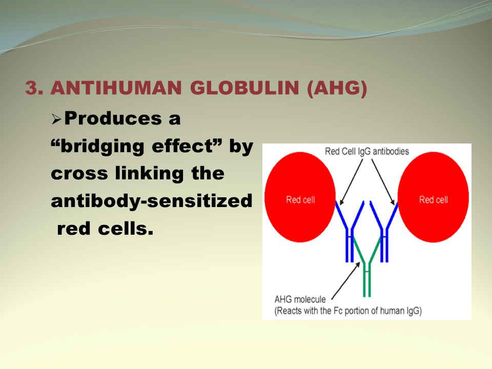 "3. ANTIHUMAN GLOBULIN (AHG)  Produces a ""bridging effect"" by cross linking the antibody-sensitized red cells."
