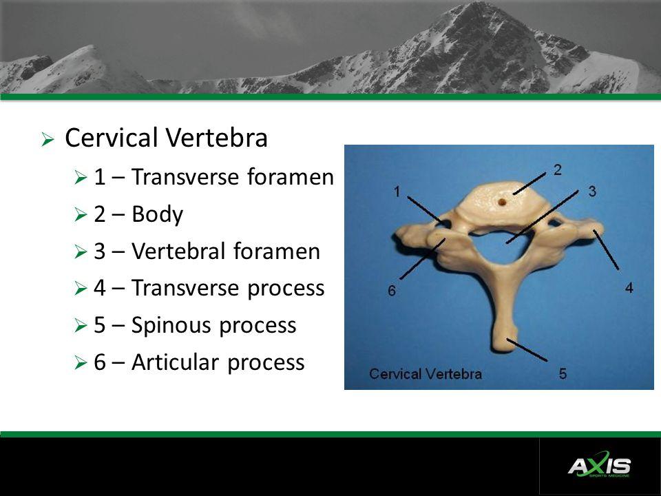  Cervical Vertebra  1 – Transverse foramen  2 – Body  3 – Vertebral foramen  4 – Transverse process  5 – Spinous process  6 – Articular process
