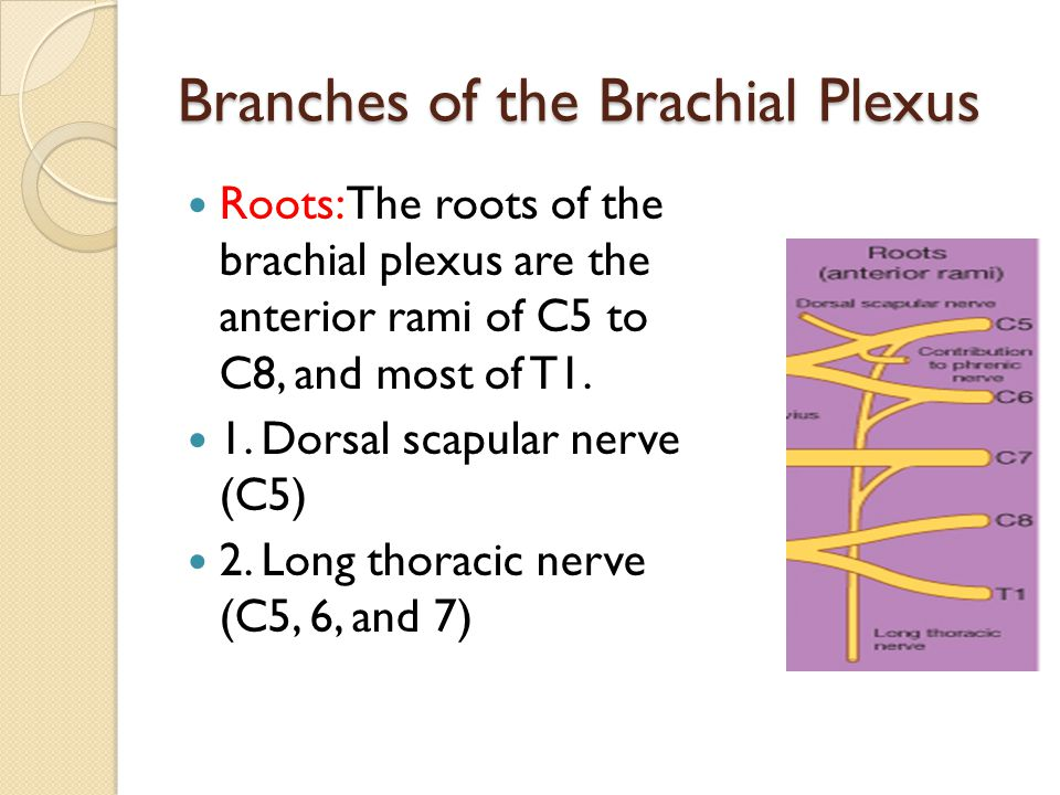 Branches of the Brachial Plexus Roots: The roots of the brachial plexus are the anterior rami of C5 to C8, and most of T1. 1. Dorsal scapular nerve (C