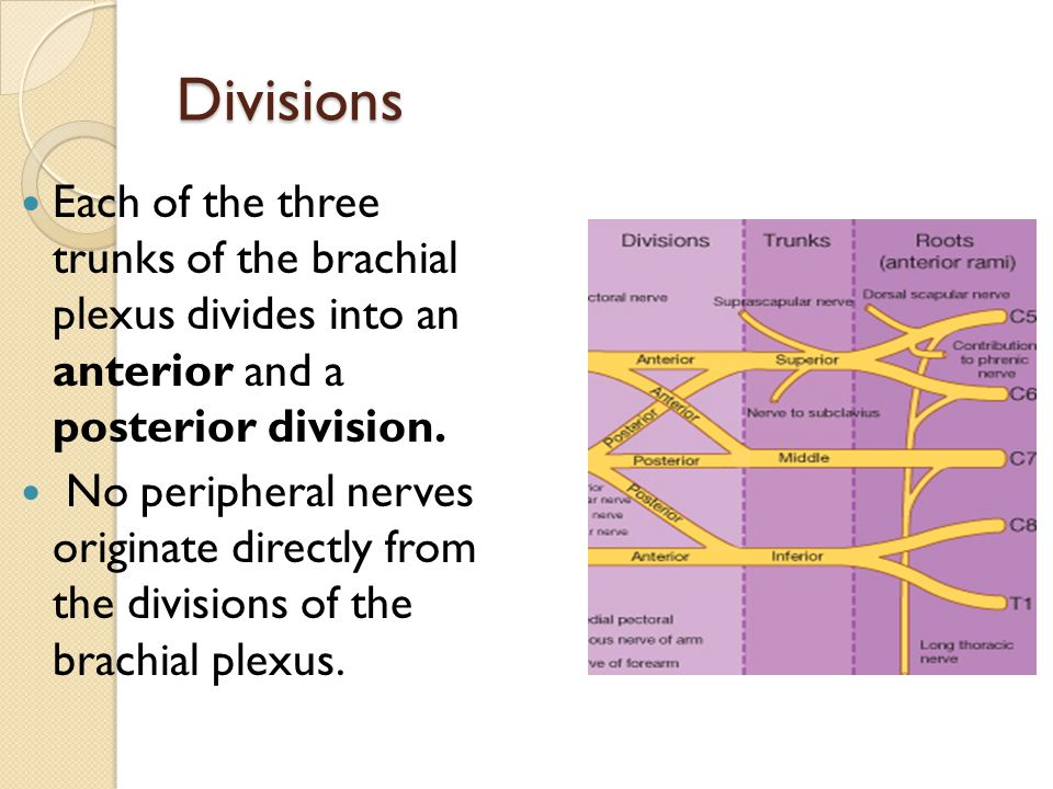 Divisions Each of the three trunks of the brachial plexus divides into an anterior and a posterior division. No peripheral nerves originate directly f