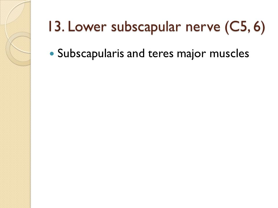 13. Lower subscapular nerve (C5, 6) Subscapularis and teres major muscles