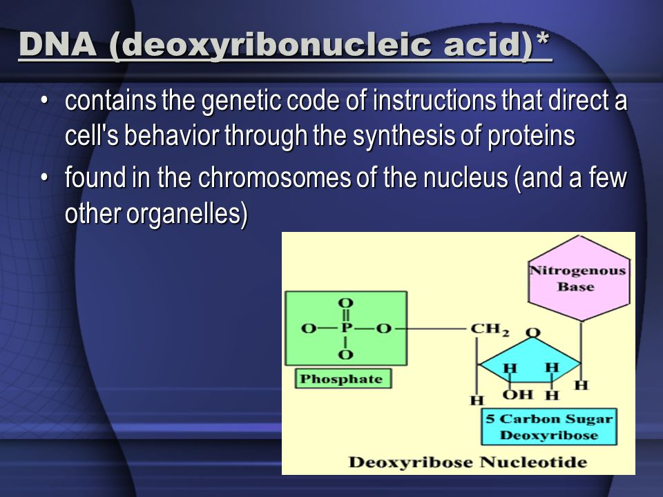 DNA (deoxyribonucleic acid)* contains the genetic code of instructions that direct a cell s behavior through the synthesis of proteinscontains the genetic code of instructions that direct a cell s behavior through the synthesis of proteins found in the chromosomes of the nucleus (and a few other organelles)found in the chromosomes of the nucleus (and a few other organelles)