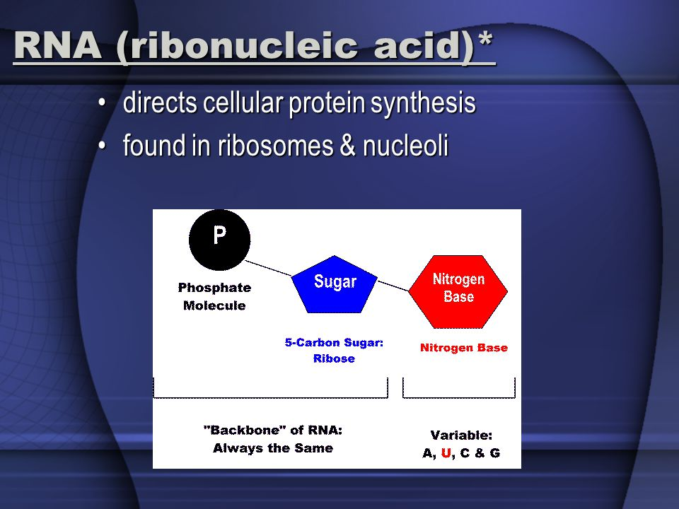 RNA (ribonucleic acid)* directs cellular protein synthesisdirects cellular protein synthesis found in ribosomes & nucleolifound in ribosomes & nucleoli