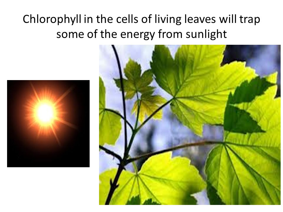 Chlorophyll in the cells of living leaves will trap some of the energy from sunlight