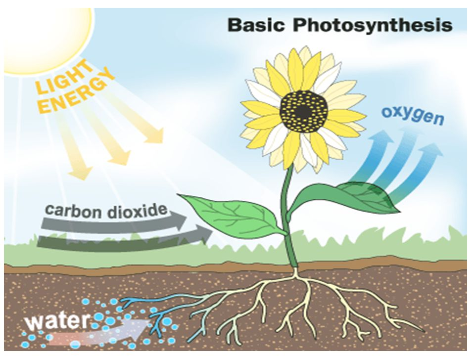 During Photosynthesis the energy from sunlight is trapped by green chlorophyll and then the energy is stored inside a carbohydrate called GLUCOSE SUGAR