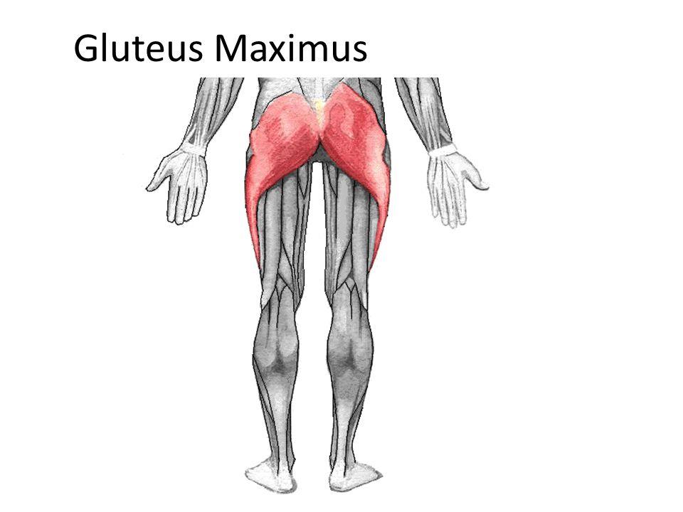 Soleus Origin: posterior superior fibula and tibia Insertion: Posterior calcaneous via Achilles Tendon Action: plantar flexion.
