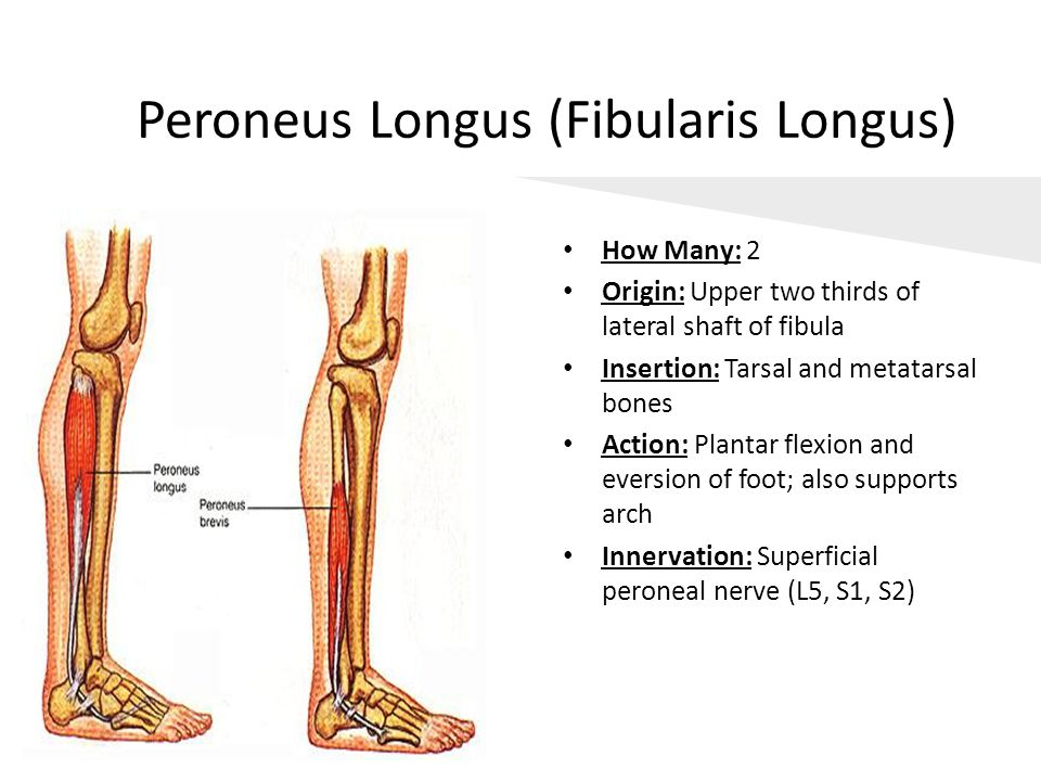 Peroneus Longus (Fibularis Longus) How Many: 2 Origin: Upper two thirds of lateral shaft of fibula Insertion: Tarsal and metatarsal bones Action: Plan