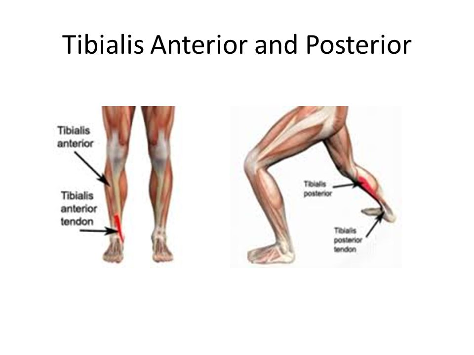 Tibialis Anterior and Posterior