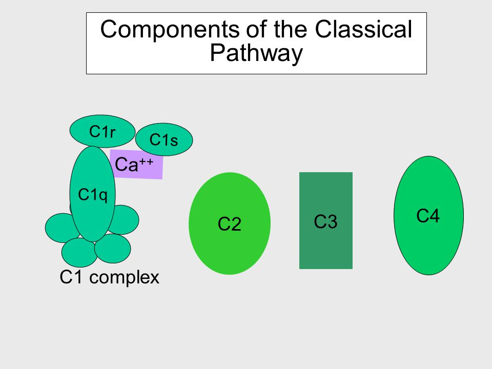 Pathways of complement activation CLASSICAL PATHWAY ALTERNATIVE PATHWAY activation of C5 LYTIC ATTACK PATHWAY antibody dependent LECTIN PATHWAY antibody independent Activation of C3 and generation of C5 convertase