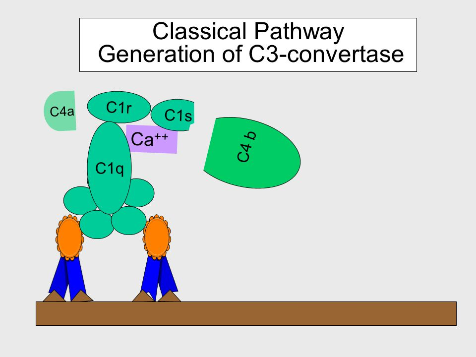 Components of the Classical Pathway C4 C2 C3 C1 complex Ca ++ C1r C1s C1q
