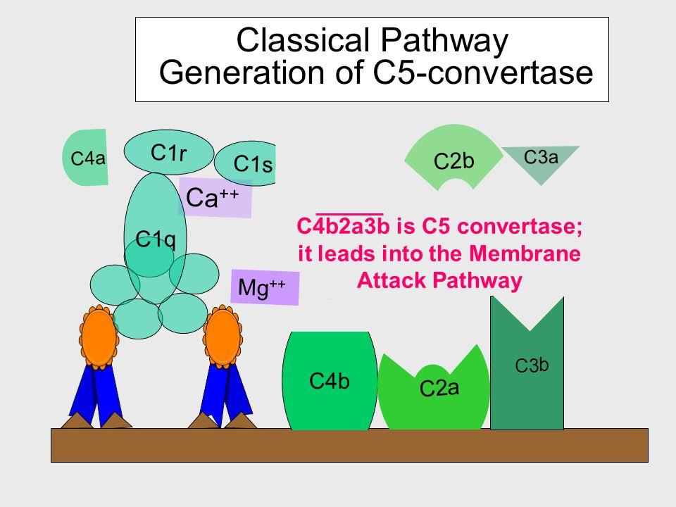 C4b Mg ++ C4a Ca ++ C1r C1s C1q C2 C2b a C2 a C4b2a is C3 convertase