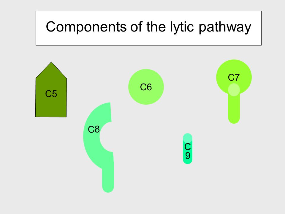 Generation of C5 convertase leads to the activation of the Lytic pathway