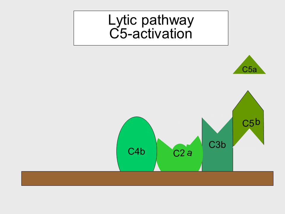 Components of the lytic pathway C6 C9C9 C8 C7 C5