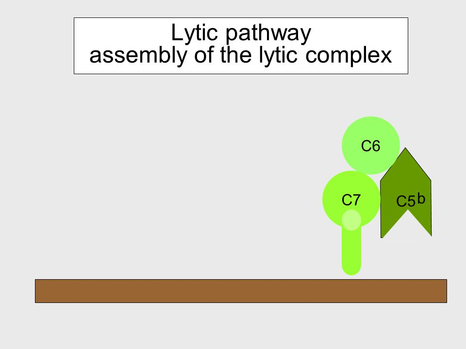 Lytic pathway C5-activation C3b C2 a C4b C5 b C5a